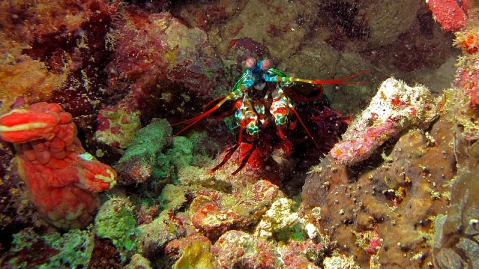 Peacock_Mantis_Shrimp